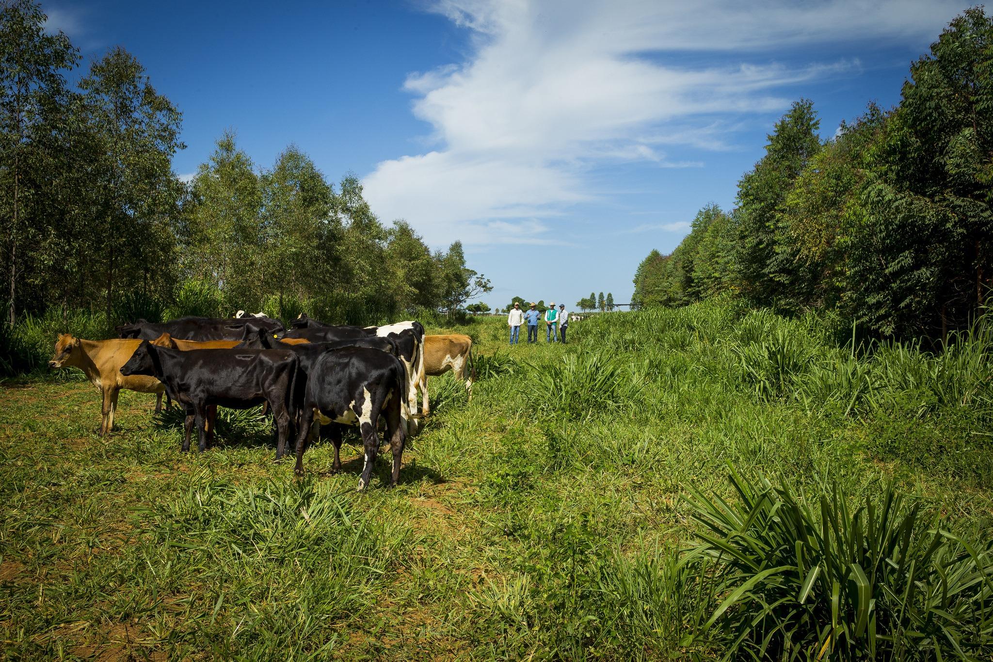 Cows at brazilian farm