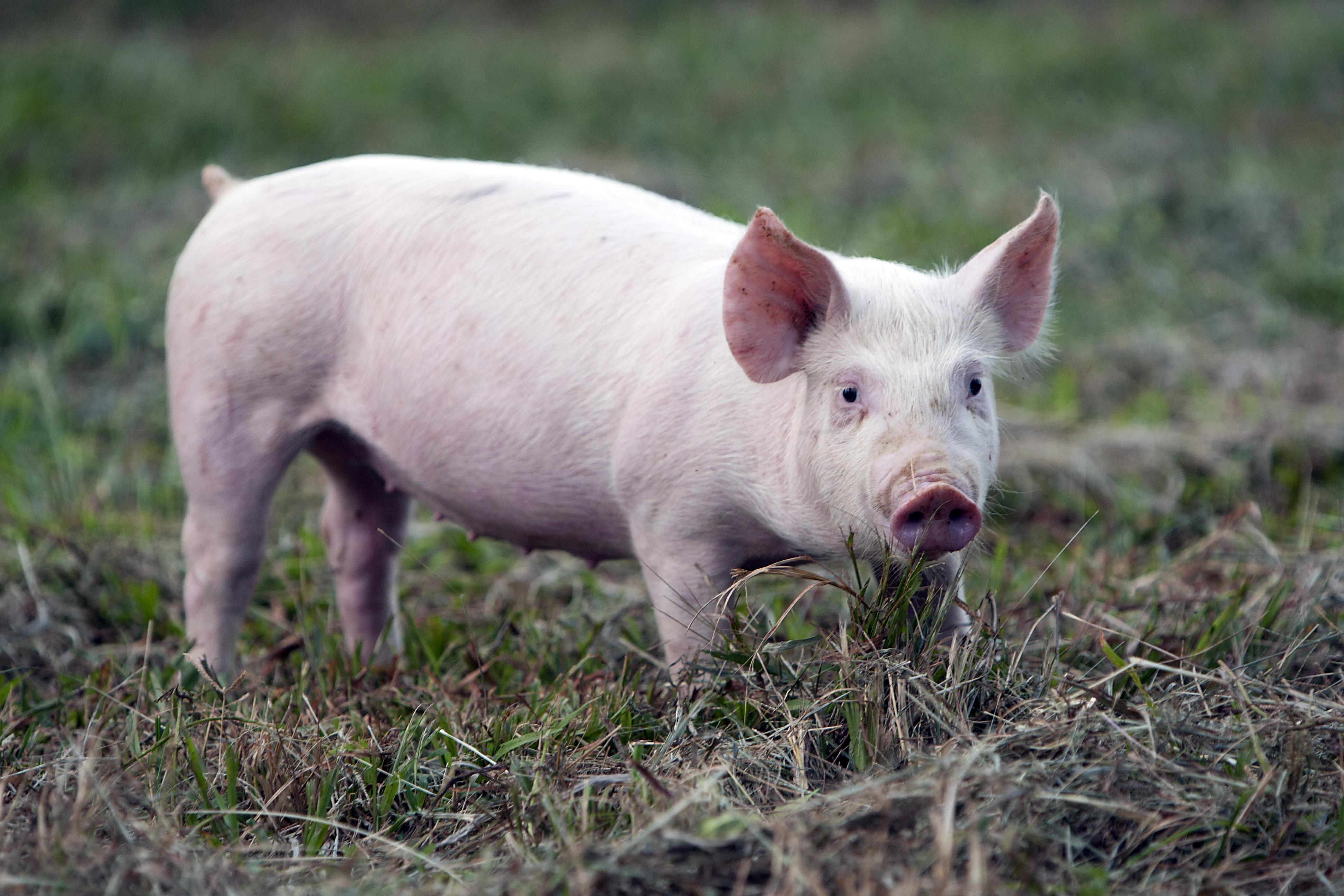 A little pig in a farm